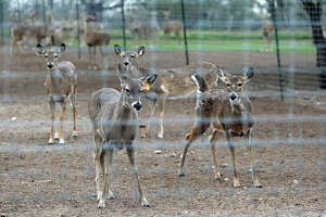Deer breeding is not CWD threat - Photo