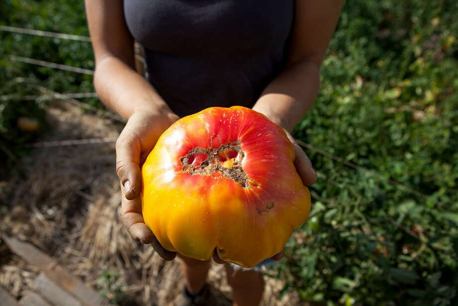 Sylvester displays one of the tomatoes she and her husband grew on their 2 acres at the AgPark. Now it's time to plan for winter crops. Photo: Nathaniel Y. Downes, The Chronicle