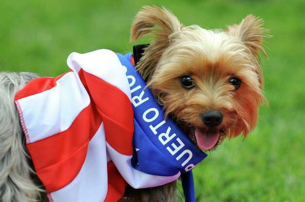 Ava, a Yorkshire terrier, wears the native Puerto Rican flag of her owner, Damaris Rey of Albany, during the Albany LatinFest on Saturday, Aug. 29, 2015, at Washington Park in Albany, N.Y. LatinFest celebrates the Hispanic cultural heritage and the contributions made by Hispanic Americans. (Cindy Schultz / Times Union) Photo: Cindy Schultz / 00033166A