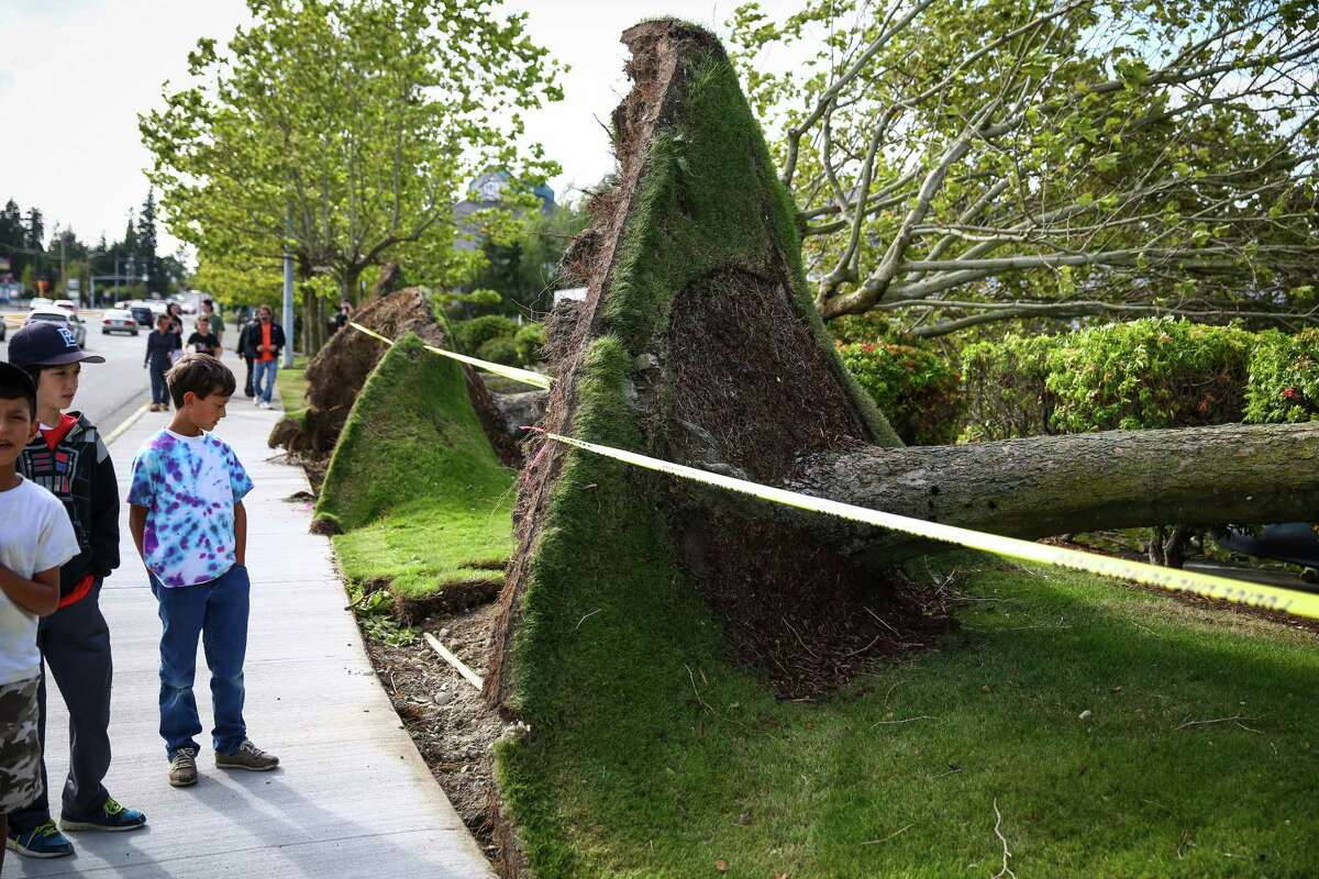 People look at a row of downed trees in Lynnwood after they were knocked down during a windstorm that caused damage across the Pacific Northwest.