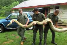 Mack Ralbovsky, left, of the Rainforest Reptile Shows, gets assistance from Vermont game wardens Tim Carey, center, and Wes Butler as they remove a reticulated python, between 17 and 18 feet long, from the home of Pat Howard Tuesday, Aug. 25, 2015, in North Clarendon, Vt. Howard got the female snake and a slightly smaller male on Sunday from a person in New York, but turned them over to game wardens because he doesn't have a license to keep them and they are too big. The wardens sent the snakes to the Rainforest Reptile Shows in Massachusetts, which will care for them. (AP Photo/Wilson Ring)