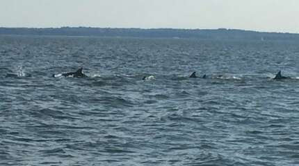 Dolphins spotted by Somsen family a few thousand feet off of Tod's Point in Greenwich Thursday Aug. 27 around 5:30 p.m.
