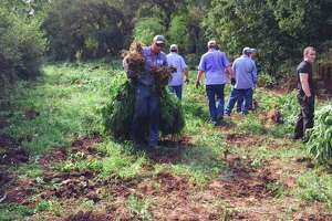 Texas authorities destroy more than 8,600 marijuana plants at pot farm - Photo