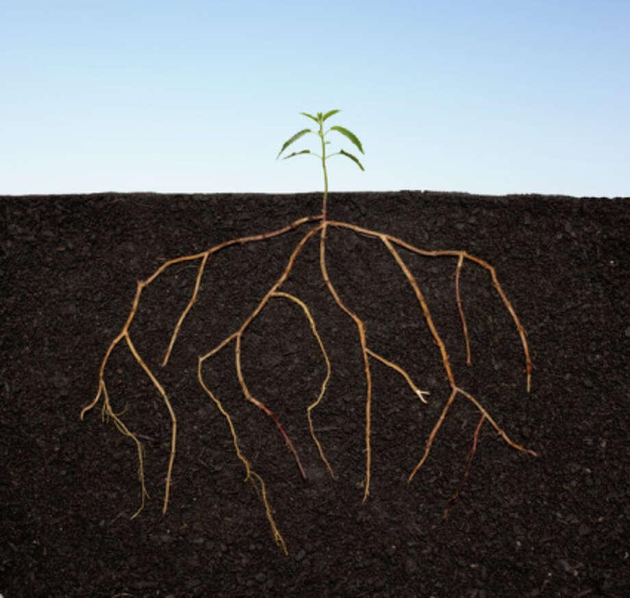 Glowing roots illuminate secrets of plant life - SFGate