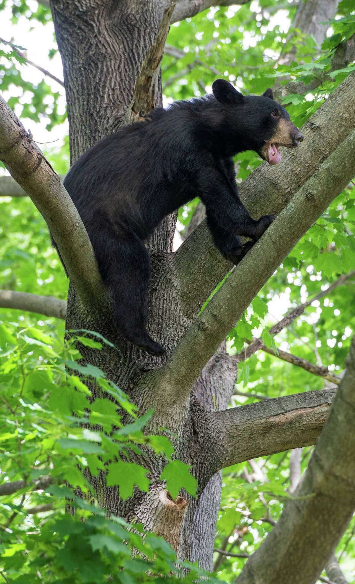 Officials caught up with a bear in a backyard tree in of a home on Mayfair Road, Fairfield, Conn. on Thursday, June 25, 2015. Police received several reports of bears roaming a wide area of the town, leading them to believe there may be more than one bear.