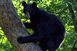 Despite petition, DEEP kills 'curious bear' - Photo
