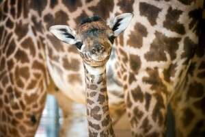 Houston Zoo welcomes a new baby - Photo