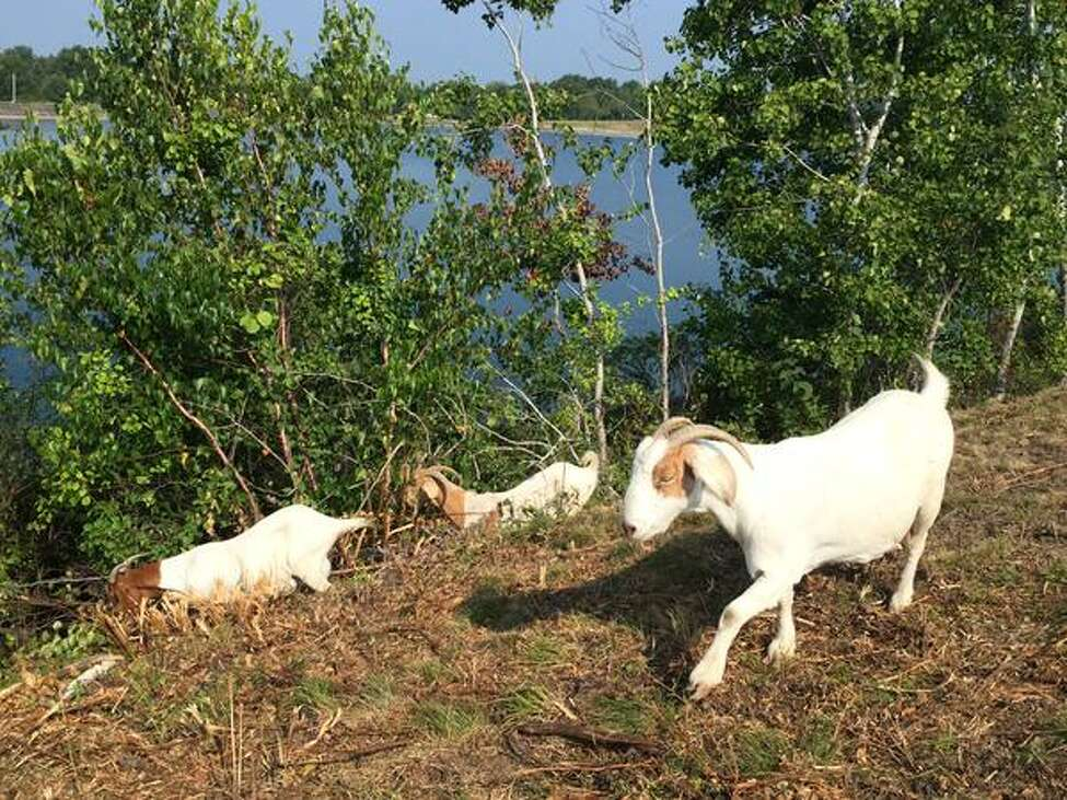 Goats were released to chew away three acres of overgrowth along a steep slope at Loudonville Reservoir on Wednesday, Sept. 2, 2015. (Cindy Schultz/Times Union)