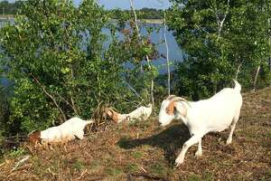 Goats chew up weeds from Loudonville Reservoir - Photo