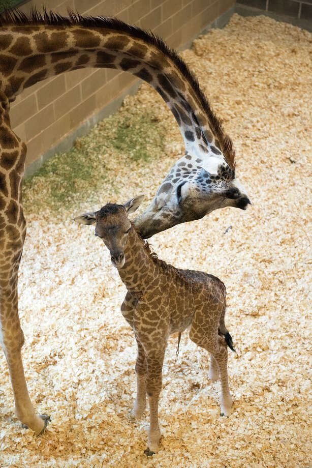 Gigi the giraffe calf weighs some 160 pounds and is 6 feet 3 inches tall, not the typical pint-size newborn. She appears to already be getting used to the McGovern Giraffe Habitat at the African Forest at the zoo as well, as can be seen in a video the zoo provided. Photo: Stephanie Adams, The Houston Zoo / Stephanie Adams / © Stephanie Adams, Houston Zoo