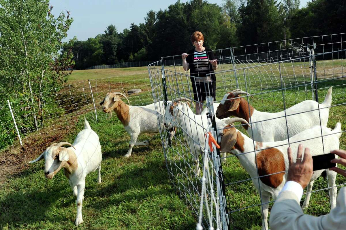 Mayor Kathy Sheehan releases goats to graze on Wednesday, Sept. 2, 2015, at the Loudonville Reservoir in Albany , N.Y. The goats, owned by Heather Ridge Farm, will chew away nearly three acres of overgrowth along a steep slope. (Cindy Schultz / Times Union)