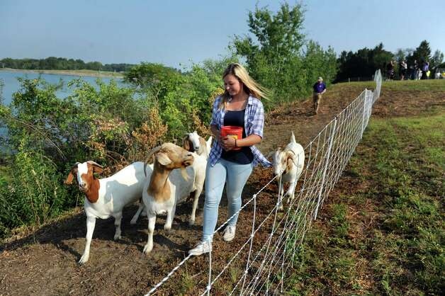 Amanda Hughes of Heather Ridge Farm leads goats to their grazing area on Wednesday, Sept. 2, 2015, at the Loudonville Reservoir in Albany , N.Y. The goats, owned by Heather Ridge Farm, will chew away nearly three acres of overgrowth along a steep slope. (Cindy Schultz / Times Union) Photo: Cindy Schultz / 00033209A