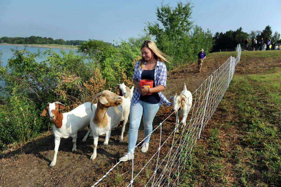 Amanda Hughes of Heather Ridge Farm leads goats to their grazing area on Wednesday, Sept. 2, 2015, at the Loudonville Reservoir in Albany , N.Y. The goats, owned by Heather Ridge Farm, will chew away nearly three acres of overgrowth along a steep slope. (Cindy Schultz / Times Union)