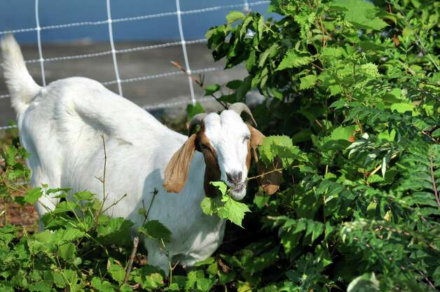 A nanny goat chews plants on Wednesday, Sept. 2, 2015, at the Loudonville Reservoir in Albany , N.Y. The goats, owned by Heather Ridge Farm, will chew away nearly three acres of overgrowth along a steep slope. (Cindy Schultz / Times Union) Photo: Cindy Schultz / 00033209A