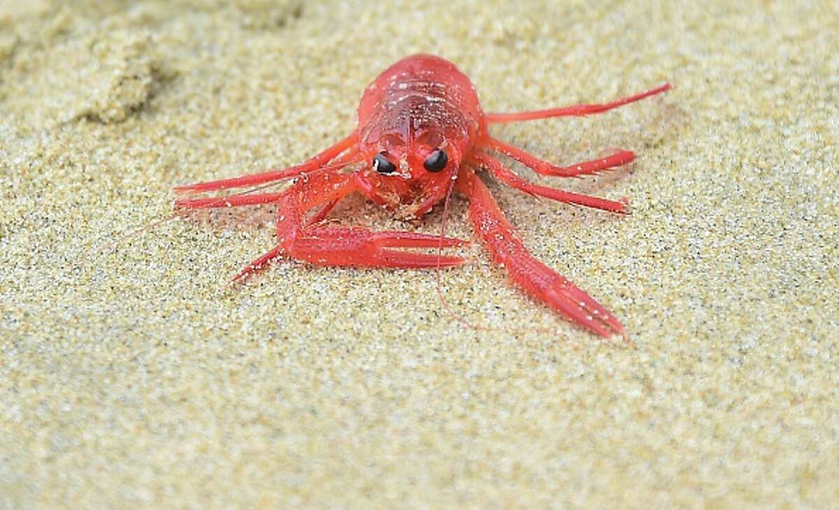 A tiny red crab among many washed up on shore at Newport Beach on June 16, 2015 in California. The Pleuroncodes planipes, known also as pelagic red crabs or tuna crabs and look like tiny lobsters or crawfish, washed ashore again recently along a number of southern California beaches, the latest in a year of odd sightings aong the California coast.