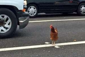 Custody battle waged over San Francisco Bay Bridge chicken - Photo