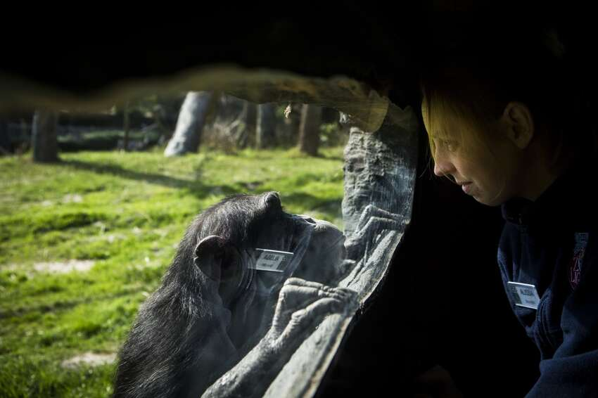 Houston Zoo membership Alissa Van Kamp, senior zoo keeper of primates at the Houston Zoo interacts with a curious chimpanzee looking into the VIP viewing area, Thursday, Feb. 26, 2015. An annual pass for unlimited trips to the zoo runs about $69 per person. ( Marie D. De Jesus / Houston Chronicle )