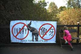 A young girl leans on a chair near a sign protesting the poaching of African elephants for ivory at the Oakland Zoo on August 12, 2014 in Oakland, CA.