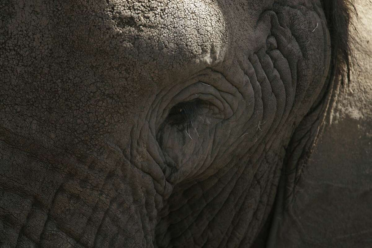 Osh, a 20 year old male African elephant, is seen in his exhibit at the Oakland Zoo on August 12, 2014 in Oakland, CA. The zoo celebrated world elephant day with a series of exhibits focused on the plight of African elephants with signed petitions and buttons advocating for outlawing the sale of ivory in California
