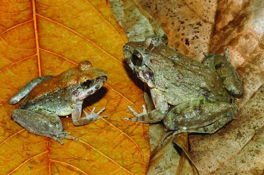 Female and male frogs at a leaf happy hour