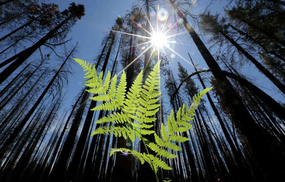 A study estimates that Earth once had about 5.6 trillion trees; today, the total is 3.04 trillion. Photo: Rich Pedroncelli / Associated Press / AP