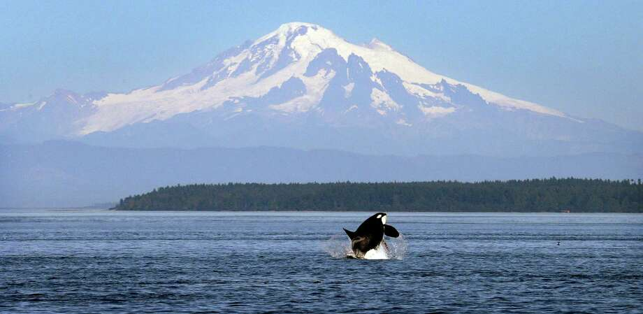 An Orca whale breaches with Mt. Baker as backdrop. It is through these waters that 34 laden oil tankers will pass each month if a mammoth, 848,000 barrels a day oil pipeline is built from Alberta down to Burnaby, British Columbia. Alberta wants the pipeline. A new British Columbia government promises to try and block it.  Photo: Elaine Thompson, Credit / AP