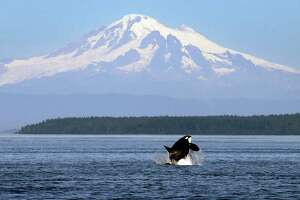 In this photo taken July 31, 2015, an orca whale breaches in view of Mount Baker, some 60 miles distant, in the Salish Sea in the San Juan Islands, Wash. The Southern Resident killer whales living in the area have lost about 20 percent of their population since the 1990s, likely because of dwindling food sources and contamination. This particular group of whales, now numbering at 81, is endangered. (AP Photo/Elaine Thompson)