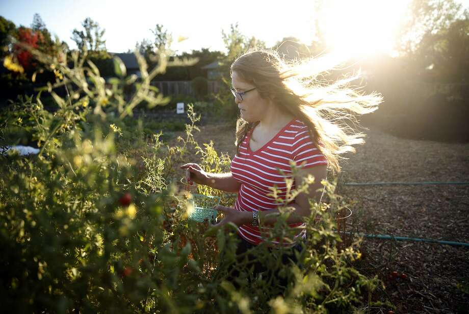 A Sweetwater Spectrum resident picks tomatoes in the farm located at her residential community for adults with autism in Sonoma, Calif., on Wednesday, September 2, 2015. Photo: Scott Strazzante, The Chronicle
