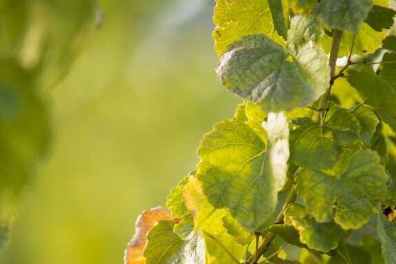 Kerner grapes grow in a vineyard in Lodi.