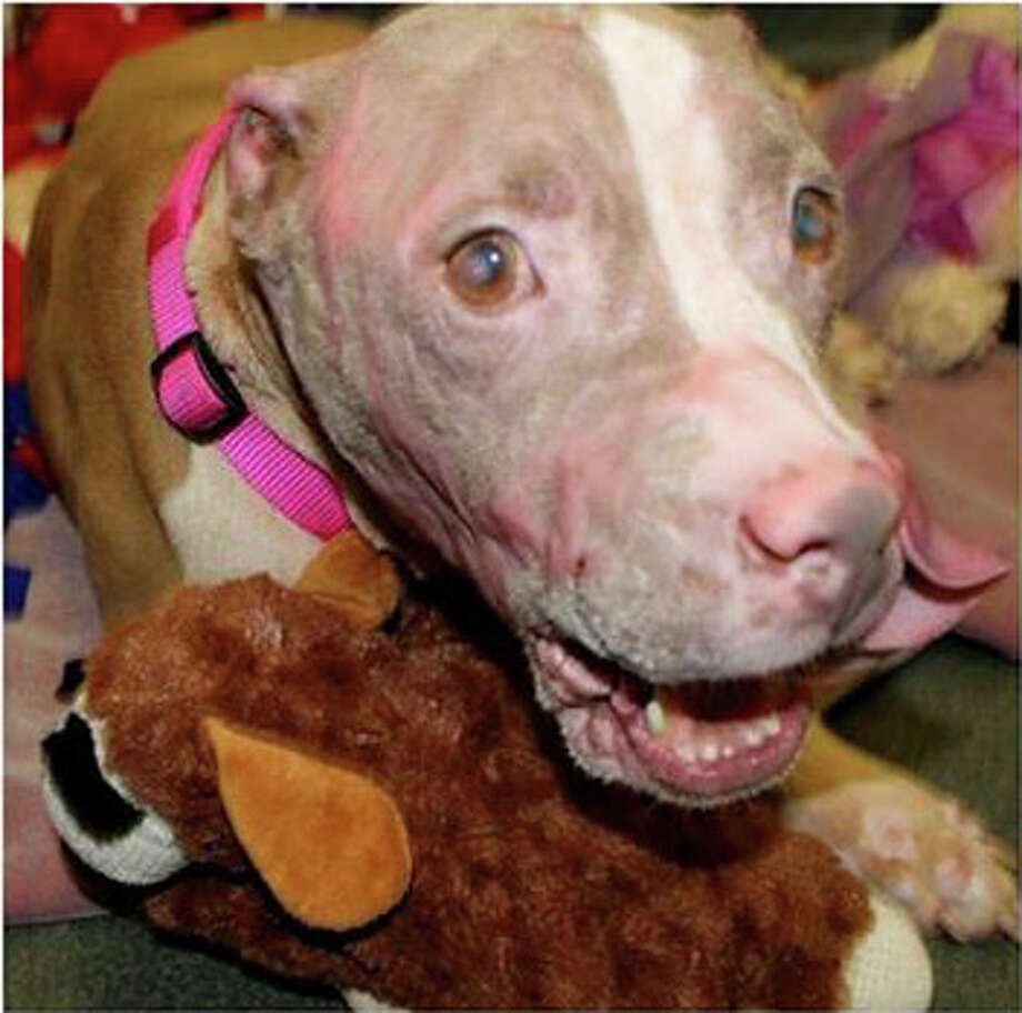 Rosie the pit bull is still recovering from severe chemical burns, but these photos show that she is getting better with time. Photo: Animal Care Services