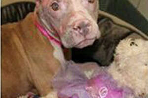 Dog burned with acid awaits eye surgery - Photo
