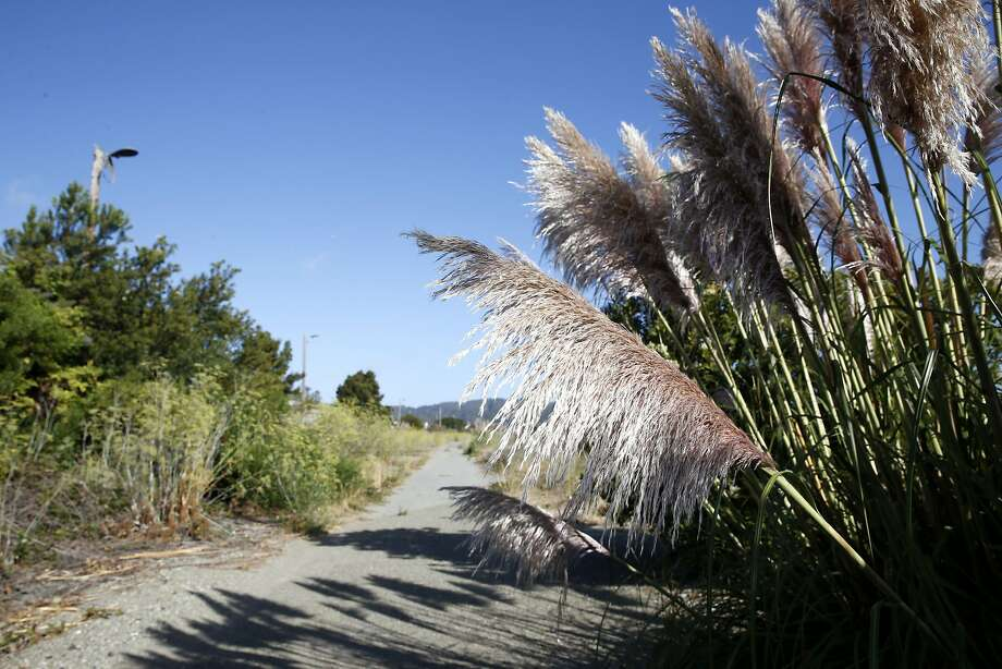 Pampas grass lines an old railroad right-of-way on open space land between Bayshore Boulevard and Highway 101 in Brisbane. Photo: Paul Chinn, The Chronicle