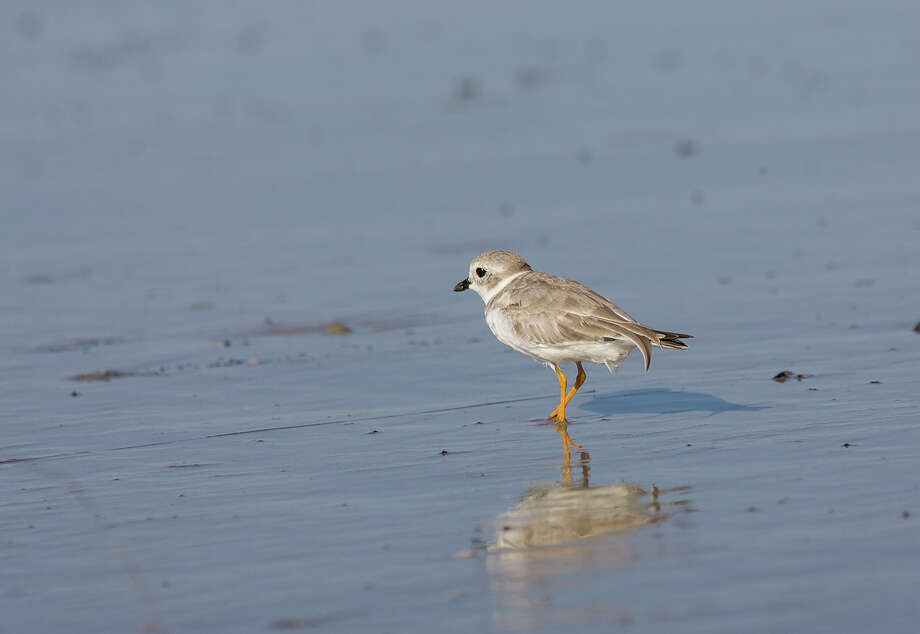 Piping plovers are arriving on Texas beaches as shorebirds migrate south for the winter. Photo: Kathy Adams Clark / Kathy Adams Clark/KAC Productions