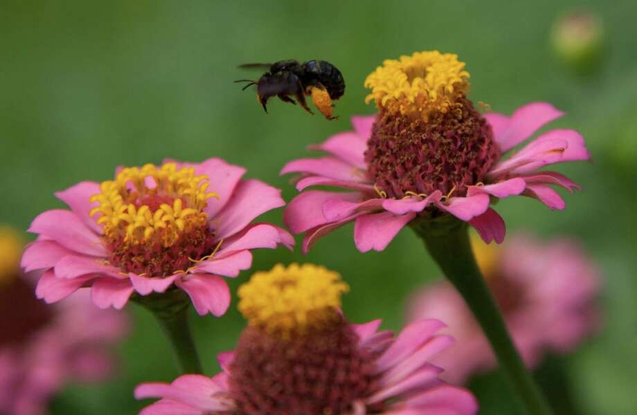 Bees find nectar and pollen in the zinnias in Micki Fine and John Pavlicek's pollinator way station. John Everett Photo: John Everett / John Everett, 2014