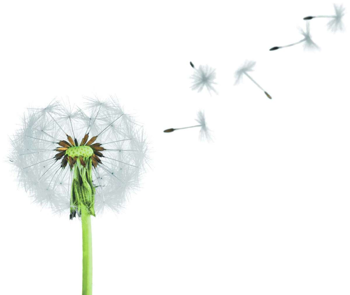 You may find these all overtoday, but dandelions weren?t always around. (Fotolia)