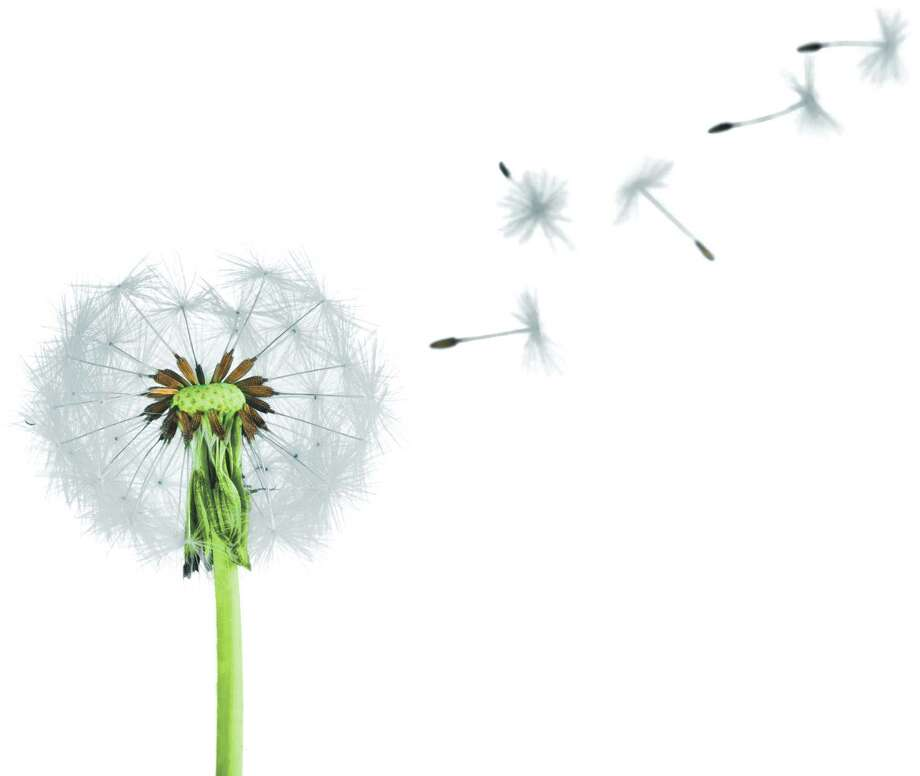 You may find these all overtoday, but dandelions weren?t always around. (Fotolia) / BillionPhotos.com - Fotolia