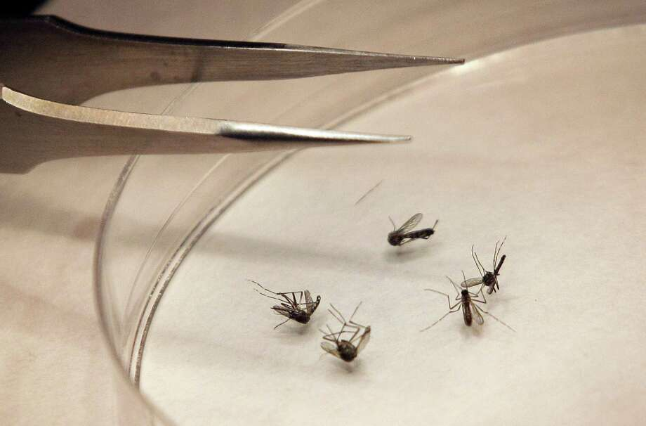 In this Aug. 16, 2012 file photo, mosquitos are sorted at the Dallas County mosquito lab in Dallas. Photo: LM Otero, STF / AP