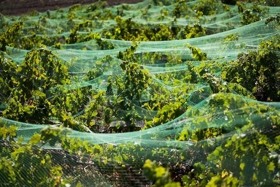 Grapevines at Randall Grahm's Popelouchum Vineyard in San Juan Bautista. The vineyard is the latest project from Grahm, of Bonny Doon. Photo: James Tensuan, Special To The Chronicle
