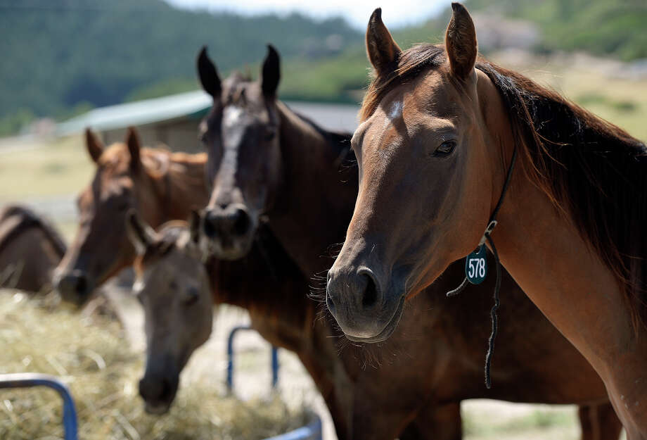 Four of the 31 mares that arrived at the Dumb Friends League Harmony Equine Center in Franktown, Colo., on Tuesday take a break from eating, drinking and relaxing to be looked over by a doctor. They are among the 200 horses rescued in Conroe.  Photo: Cyrus McCrimmon, STAFF / Copyright - 2015 The Denver Post, MediaNews Group.