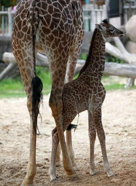 Gigi the baby giraffe was at the Houston Zoo on Friday, Sept. 4, 2015. Her mother is Asali. Photo: Karen Warren, Houston Chronicle / © 2015 Houston Chronicle