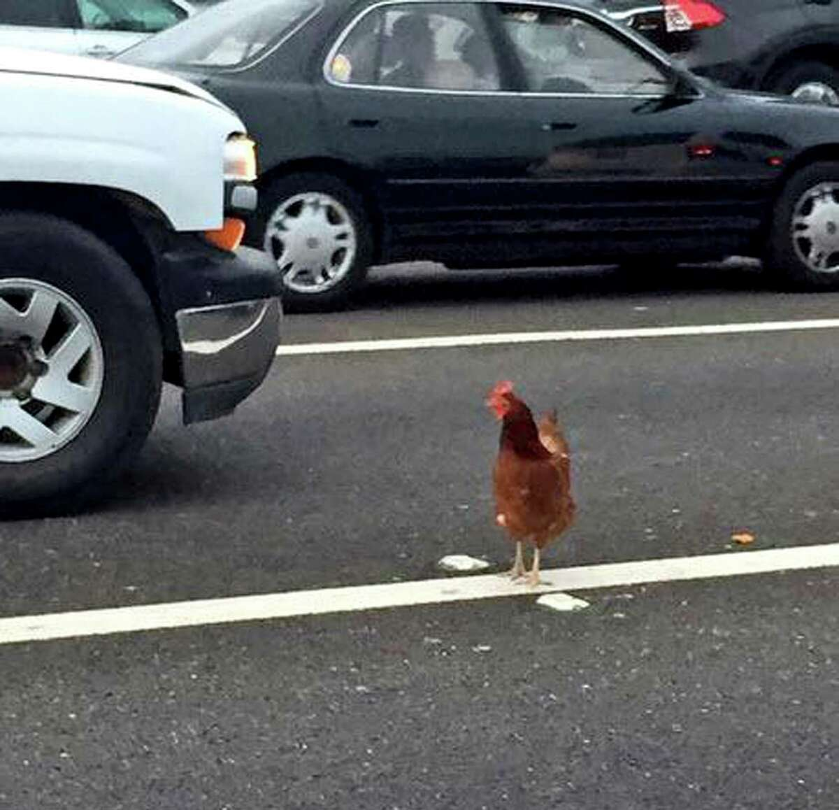 In this Wednesday, Sept. 2, 2015 photo, a brown chicken runs across the road through the lanes of a toll plaza on the Bay Bridge in San Francisco. California Highway Patrol officers managed to capture the felonious chicken that fouled up rush-hour traffic on the bridge.