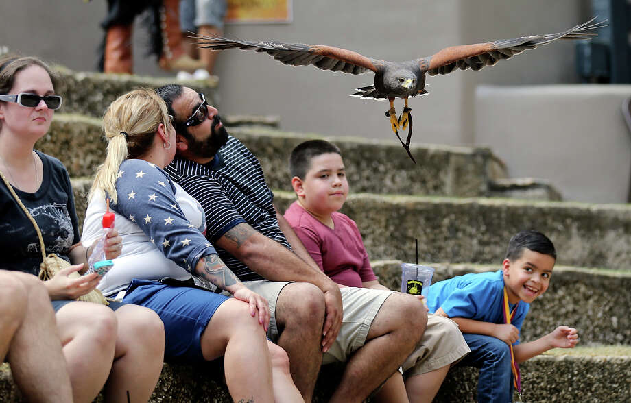 A Harris's Hawk flies over the audience during a falconry show by Last Chance Forever The Bird of Prey Conservancy part of the Shakespeare in the Park: Renaissance on the River event held Sunday Sept. 6, 2015 in the Arneson River Theatre. Photo: Edward A. Ornelas, Staff / San Antonio Express-News / © 2015 San Antonio Express-News