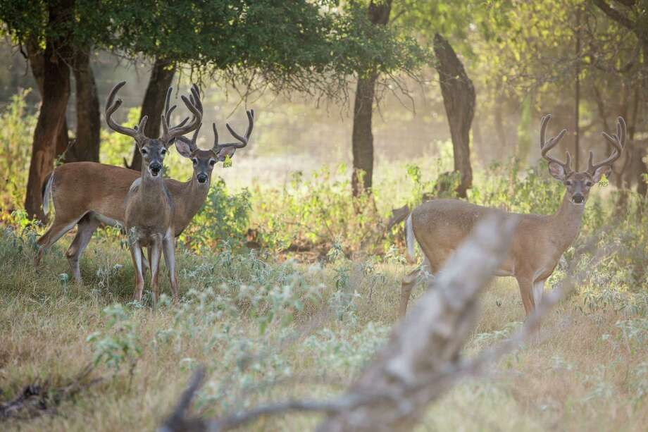 Three of David Aaron's approximately 90 deer stand together in a large pen at Aaron Whitetail Ranch in Floresville, Texas on August 12, 2015. Three cases of Chronic Wasting Disease have been discovered on animals linked to Texas Mountain Ranch in Medina County. Photo: Carolyn Van Houten, Staff / San Antonio Express-News / 2015 San Antonio Express-News