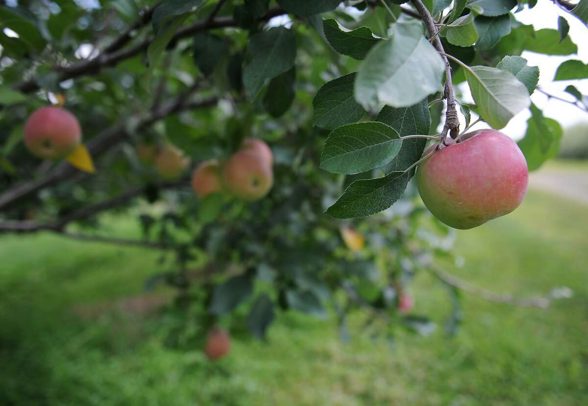 Ripening apples hang from an apple tree.