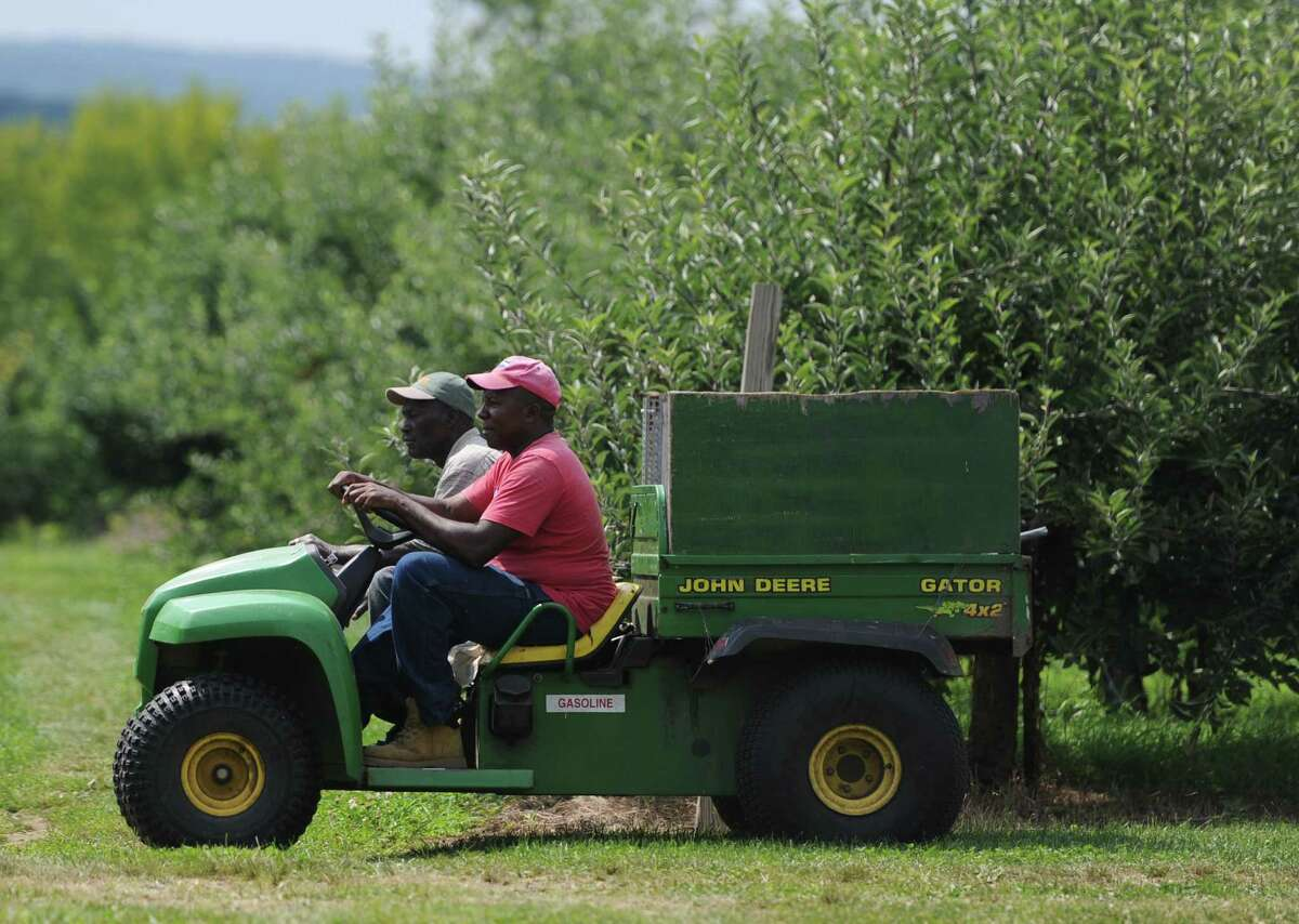 Employees Herman Johnson, left, and Karl Smith ride through the apple fields at Blue Jay Orchards in Bethel, Conn. Wednesday, Aug. 20, 2014. This yearâÄôs apple crop is developing late, which means a smaller harvest and much less availability of pick-your-own apples.