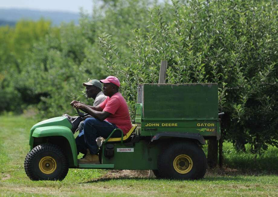 Employees Herman Johnson, left, and Karl Smith ride through the apple fields at Blue Jay Orchards in Bethel, Conn. Wednesday, Aug. 20, 2014.  This yearâÄôs apple crop is developing late, which means a smaller harvest and much less availability of pick-your-own apples. Photo: Tyler Sizemore / Tyler Sizemore / The News-Times