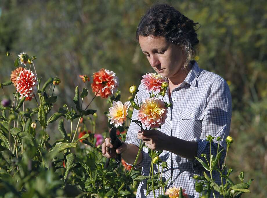 Caitlyn Galloway harvests flowers at her Little City Garden in San Francisco, Calif. on Tuesday, Sept. 8, 2015. Galloway is on the board of directors of a group hoping to acquire nearby abandoned greenhouses in the Portola district that have fallen in disrepair since 1992 when the business shut down. Photo: Paul Chinn, The Chronicle