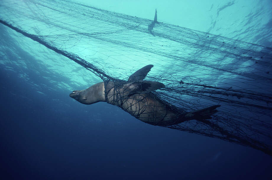 "A sea lion trapped in a ""ghost net."" Abandoned and lost fishing gear catches and strangles marine creatures over and over again. Photo: Tom Campbell © SOSF"