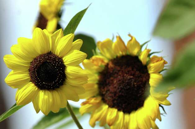 Sunflowers in bloom on a hot day on Tuesday, Sept. 8, 2015, in Albany, N.Y. (Cindy Schultz / Times Union) Photo: Cindy Schultz