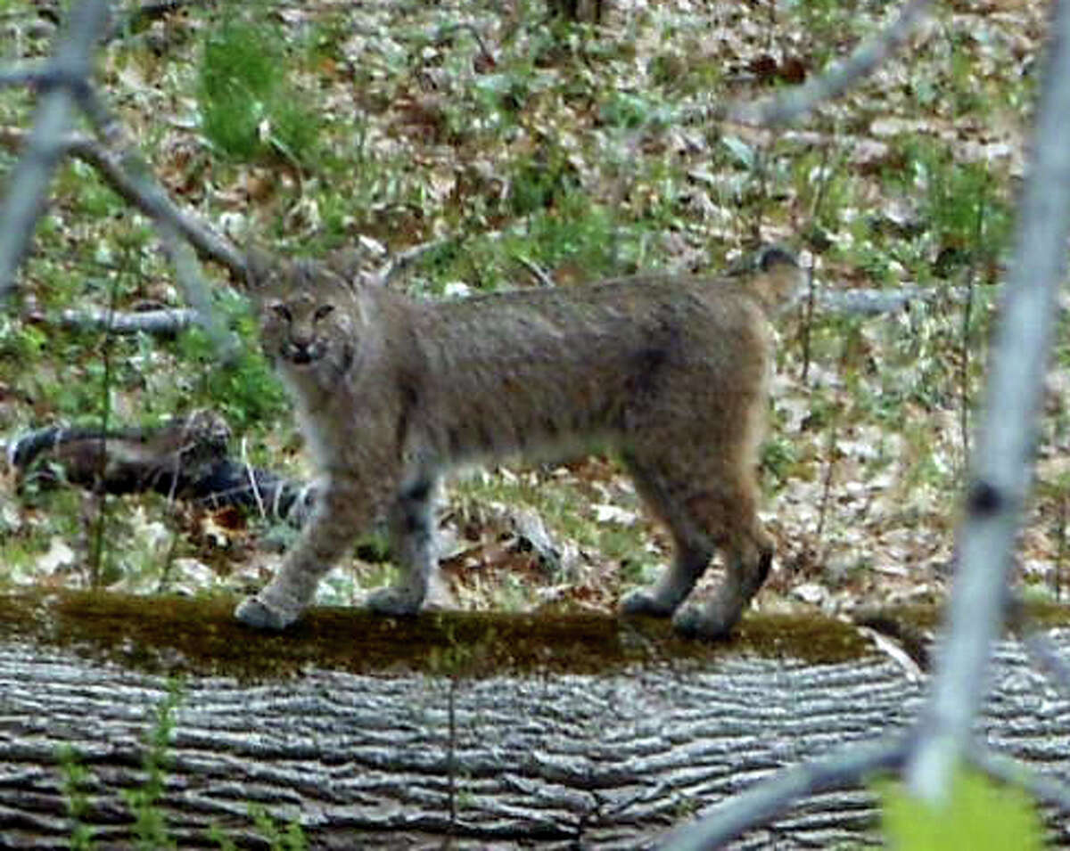 The bobcat that Robert Wesley spotted in his Trumbull backyard Friday, May 1, 2015, is only the latest in a menagerie of animals that have visited area residents recently.